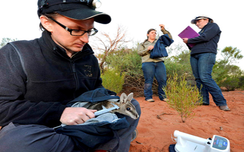 Health check of Bridled Nailtail Wallabies.©AWC