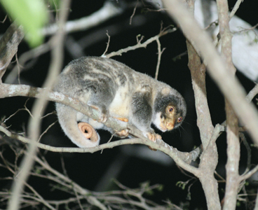 Male Spotted Cuscus. ©Wayne Lawler/AWC