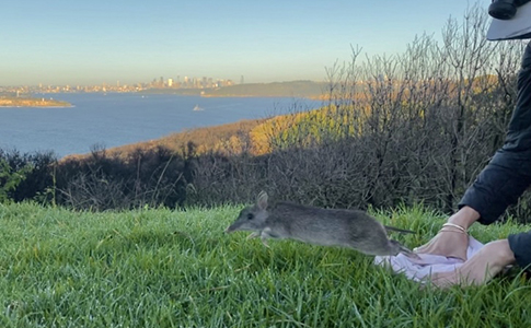 Long-nosed Bandicoot released during a recent survey. © H Nelson/AWC