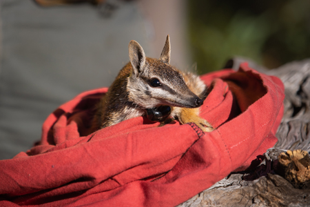 A Numbat is released. ©Brad Leue/AWC