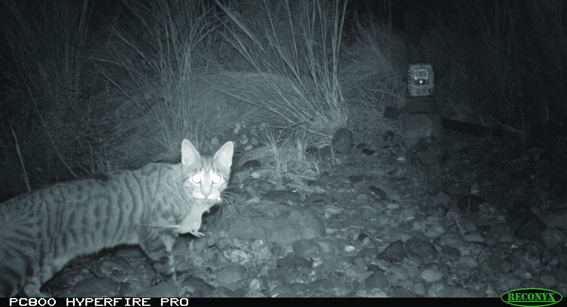 A Camera Trap Captures Feral Cat That Has Killed